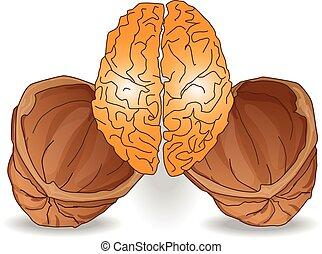 cervello, illustrazione, noce