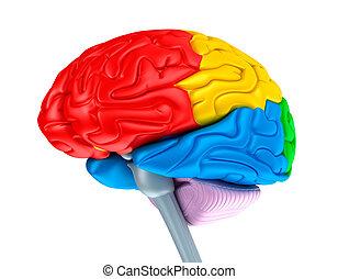 cervello, lobi, colori, differente