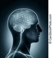 cervello, medico, umano, raggi x, scansione