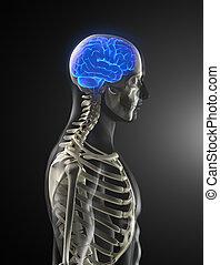 cervello, medico, umano, scansione