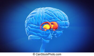 cervello, parte, -, ganglia basale
