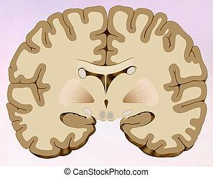 cervello, sezione, coronale, umano