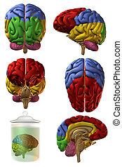 cervello, umano, 3d