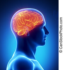 cervello umano, ardendo, vista laterale
