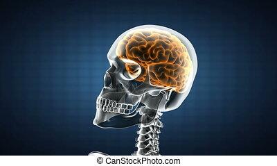 cervello umano, radiografia, scansione