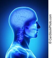 cervello, umano, raggi x, vista