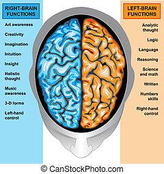 cervello umano, sinistra, e, destra, funzione