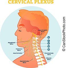 Cervical Plexus anatomical nerve diagram, vector...