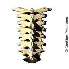 Cervical Spine - Back view - Cervical Spine - Posterior view...