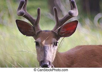 cervo whitetail, 1