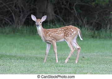 cervos branco-white-tailed, cervato