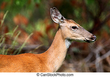 cervos branco-white-tailed, corça