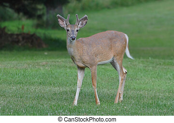 cervos branco-white-tailed, dólar