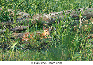 cervos branco-white-tailed, fawn.