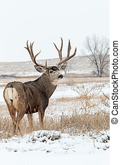 cervos mula, dólar, em, neve