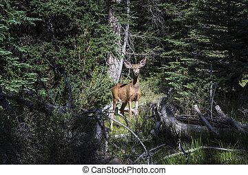 cervos mula, em, floresta