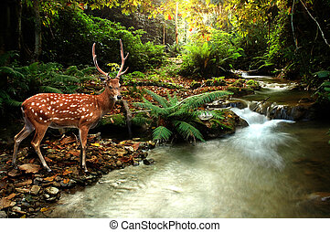 cervos sika