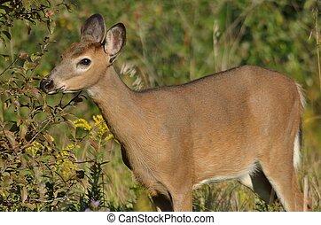 cervos tailed brancos, cervato