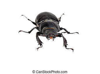 cervus, hintergrund, lucanus, freigestellt, weibliche , (stag, beetle), weißes