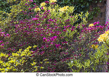 Cespugli azalea rosa cespugli pietra fiore fuoco for Cespugli giardino