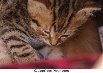 cesta, cute, dormir, gatinho