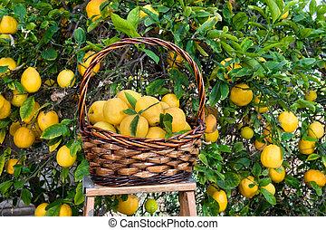cesta, de, limones, recientemente, escogido, de, un, árbol