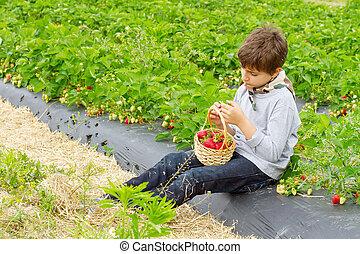 cesta, menino, morangos, colheita, campo