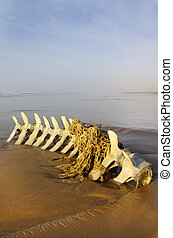 Cetecea skeleton of pilot whale on a beach