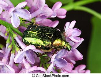 Cetonia aurata - An iridescent green Rose Chafer Beetle,...