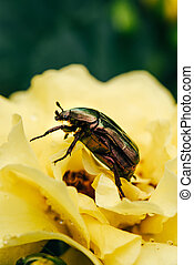 cetonia aurata beetle on petals of yellow flower