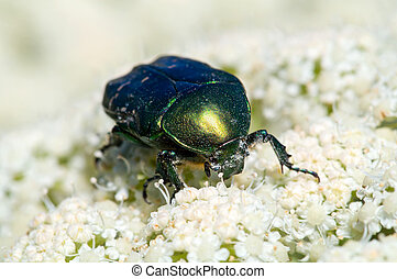 Cetonia aurata beetle