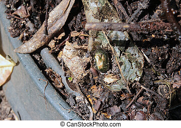 Cetonia aurata, golden- bronze beetle in organic compost...