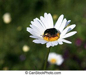 Cetonia aurata on the daisy