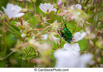 Cetonia aurata or Green Chafer beetle on a flowers flower...