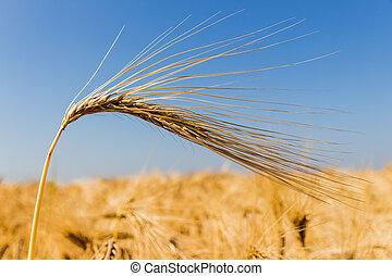 cevada, campo, antes de, colheita