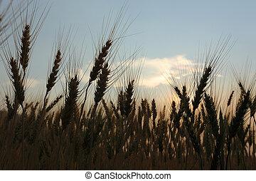 cevada, campo, de, agricultura, cena rural