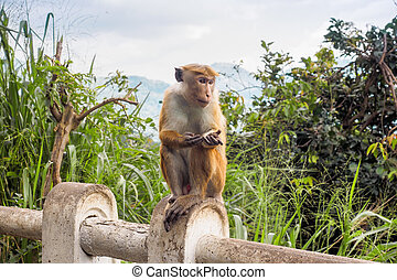 Ceylon-hat monkey begging for food