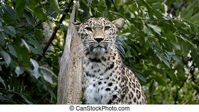 ceylon Sri Lankan leopard, (Panthera pardus kotiya) - Ceylon...