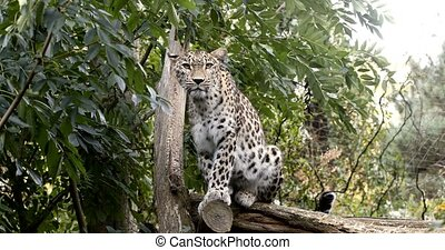 Ceylon Sri Lankan leopard (Panthera pardus kotiya), Cat was listed as Endangered on the IUCN Red List