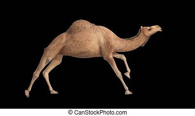 CG camel cyclical running on alpha channel 4k