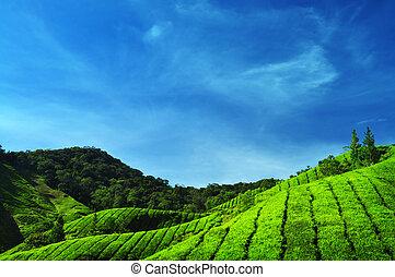 chá, plantations.