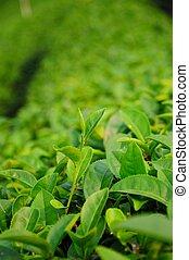 chá verde, broto, e, folhas