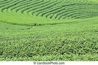 chá verde, broto, e, leaves.