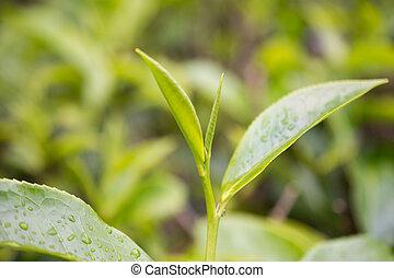 chá verde, broto, e, leaves., plantações chá
