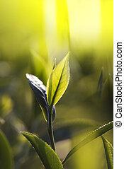 chá verde, broto, e, leaves., plantações chá, taiwan