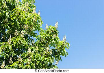 châtaigne, bleu, printemps, floraison, arbre, contre, fleurs, ciel