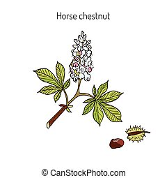 châtaigne, cheval, arbre, hippocastanum, conker, ou, aesculus