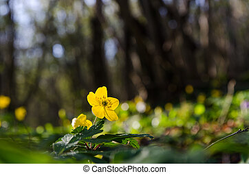 chão, amarela, cedo, glowing, floresta madeira, anemone, backlit, springtime