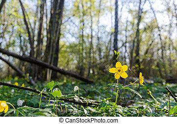 chão, amarela, cedo, glowing, floresta madeira, anemone, springtime