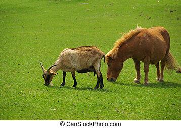 chèvre, cheval